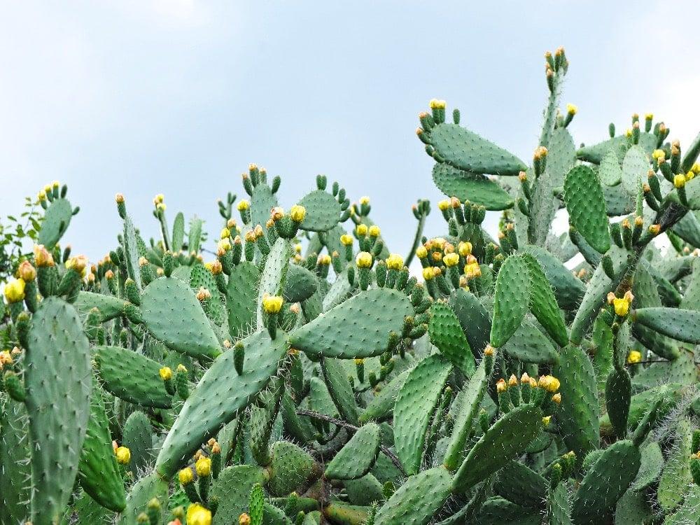 Nopal cactus pads