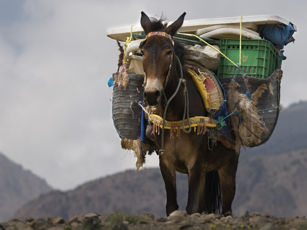donkey carrying packs